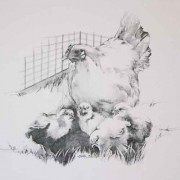 Chicken and chicks illustration - pencil drawing