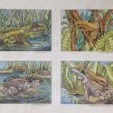 Frog Studies by Val Shaw