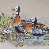 Ducks by Val SHaw